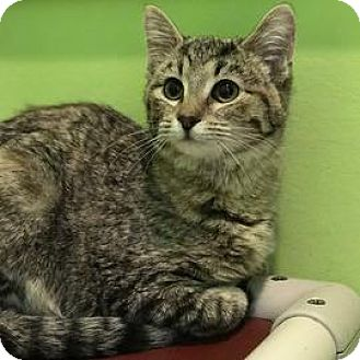 Domestic Shorthair Cat for adoption in Janesville, Wisconsin - Lexi