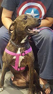 Plott Hound/Labrador Retriever Mix Dog for adoption in Spring Valley, New York - Tori