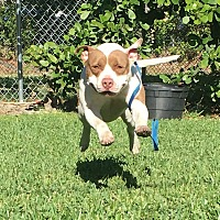 American Bulldog Dog for adoption in Miami, Florida - Frankie