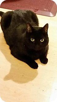 Domestic Shorthair Cat for adoption in Laguna Woods, California - Nickels, Nick-NIck