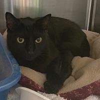 Adopt A Pet :: Shiitake - Duluth, GA