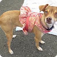 Terrier (Unknown Type, Medium) Mix Dog for adoption in Napa, California - Timid But Loyal LAYLA