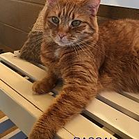 Adopt A Pet :: Rascal - Goshen, NY