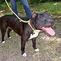 Adopt A Pet :: Haven - New City, NY