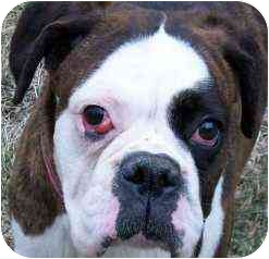 Boxer Dog for adoption in North Haven, Connecticut - Sneakers