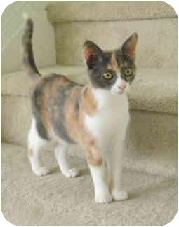 Calico Cat for adoption in Tampa, Florida - Taracita