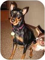 Miniature Pinscher Puppy for adoption in Florissant, Missouri - Sadie