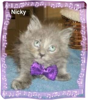 Domestic Longhair Kitten for adoption in Ozark, Alabama - Nicky