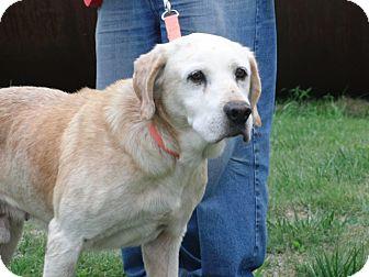 Labrador Retriever Dog for adoption in Oak Brook, Illinois - Devin