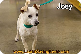 Chihuahua Mix Puppy for adoption in Pitt Meadows, British Columbia - Joey