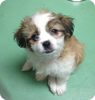 Jack Russell Terrier Mix Puppy for adoption in New York, New York - Alana