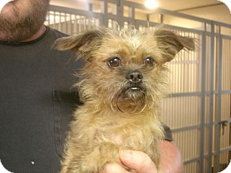 Yorkie, Yorkshire Terrier/Shih Tzu Mix Dog for adoption in Greencastle, North Carolina - Lil Bit