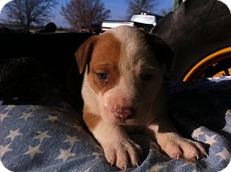 Bull Terrier Mix Puppy for adoption in Eddy, Texas - Ariel