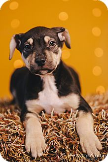Australian Cattle Dog/Rottweiler Mix Puppy for adoption in Portland, Oregon - Larry