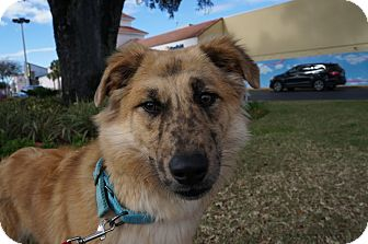 Australian Shepherd Mix Dog for adoption in Gainesville, Florida - Rita