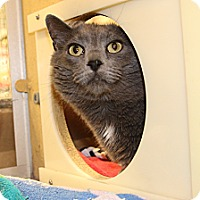 Domestic Shorthair Cat for adoption in Rochester, Minnesota - Ling Ling