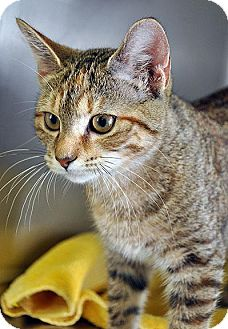 Domestic Shorthair Cat for adoption in Fort Leavenworth, Kansas - Elsa