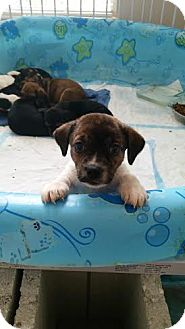 Beagle Mix Puppy for adoption in Jacksonville, Florida - Cowgirl