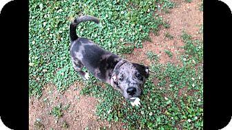 Catahoula Leopard Dog/Labrador Retriever Mix Puppy for adoption in Milton, New York - Mario
