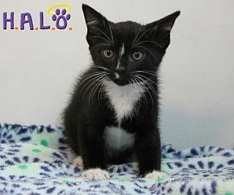 Domestic Mediumhair Cat for adoption in Sebastian, Florida - Rags