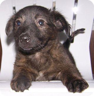 Terrier (Unknown Type, Medium)/Pomeranian Mix Puppy for adoption in Hastings, Minnesota - Mazel
