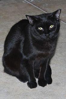 Domestic Shorthair Cat for adoption in Hamilton, Ontario - Yara