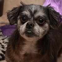 Shih Tzu/Chihuahua Mix Dog for adoption in Houston, Texas - Beckham Barkley