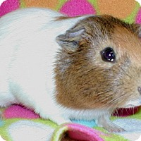 Adopt A Pet :: Piggly - Steger, IL