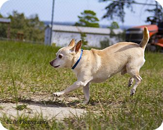 Chihuahua/Chihuahua Mix Dog for adoption in Warner Robins, Georgia - Peanut