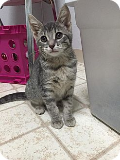 Domestic Shorthair Kitten for adoption in Bryan, Ohio - Olive