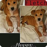Adopt A Pet :: Fletch pending adoption - Manchester, CT