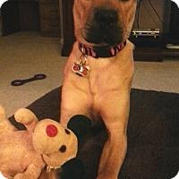 Adopt A Pet :: Bailey - Lawrenceville, GA