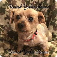 Yorkie, Yorkshire Terrier Dog for adoption in Canton, Illinois - Rusty