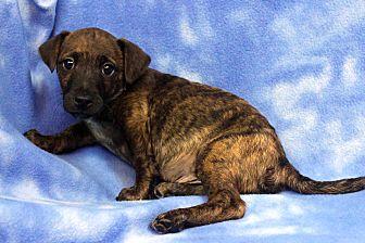 Sheltie, Shetland Sheepdog Mix Puppy for adoption in Westminster, Colorado - Deisel