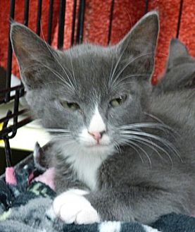 Domestic Shorthair Cat for adoption in Logan, Utah - Toby