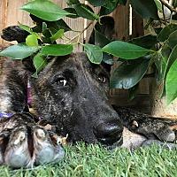 Dutch Shepherd/German Shepherd Dog Mix Dog for adoption in Los Angeles, California - Eunice