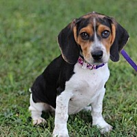 Adopt A Pet :: PUPPY HONEY - richmond, VA