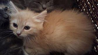 Domestic Longhair Kitten for adoption in Spring, Texas - Honey