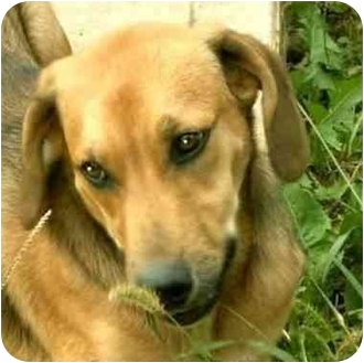 Labrador Retriever/Hound (Unknown Type) Mix Puppy for adoption in Terre Haute, Indiana - Jordan