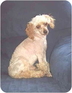 Toy Poodle Dog for adoption in LaCrosse, Wisconsin - Teddy Bear