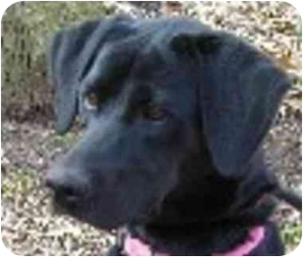 Retriever (Unknown Type) Mix Dog for adoption in Eatontown, New Jersey - Harley