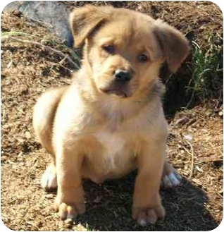 Rottweiler/Labrador Retriever Mix Puppy for adoption in Marion, North Carolina - ROBBER