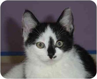 Domestic Shorthair Kitten for adoption in Overland Park, Kansas - Avery
