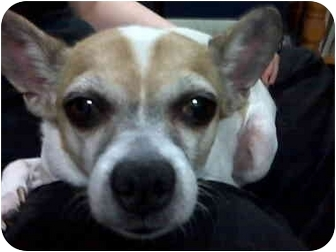 Chihuahua/Jack Russell Terrier Mix Dog for adoption in Calgary, Alberta - Sam