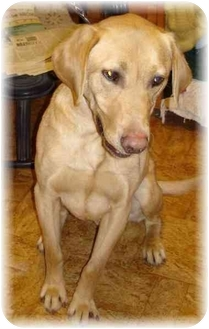 Labrador Retriever/Yorkie, Yorkshire Terrier Mix Dog for adoption in Wyoming, Minnesota - Parker- Purebred