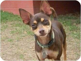 Chihuahua Mix Dog for adoption in Muldrow, Oklahoma - Ella