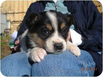 Hound (Unknown Type)/Labrador Retriever Mix Puppy for adoption in Cranford, New Jersey - Camus