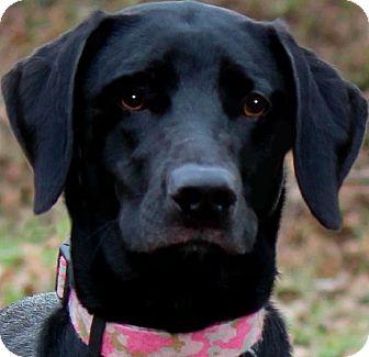 "Labrador Retriever Dog for adoption in Wakefield, Rhode Island - LULU(OUR ""LAB PETITE""!!!"