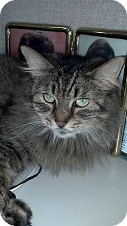 Maine Coon Cat for adoption in Sterling Hgts, Michigan - Fiona
