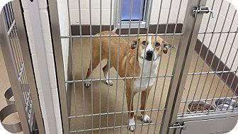 Australian Cattle Dog Mix Dog for adoption in Las Vegas, Nevada - Izzy